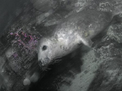 Grey seal pup passing by, Farne Islands.